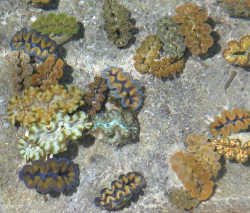 150110-141116-camiguin-giant-clams_001